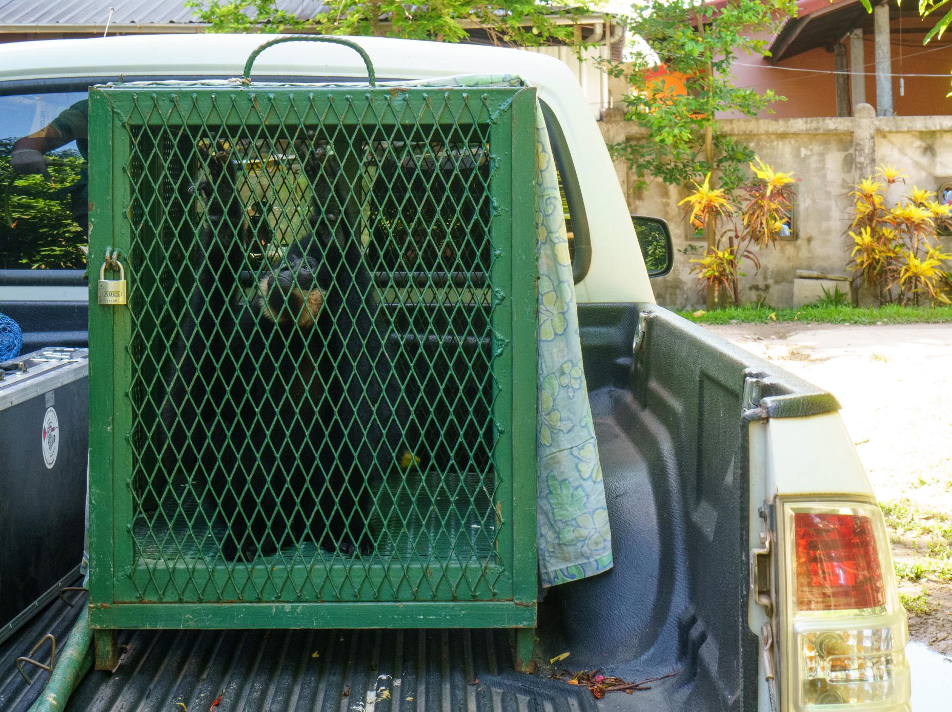 A gibbon awaiting release