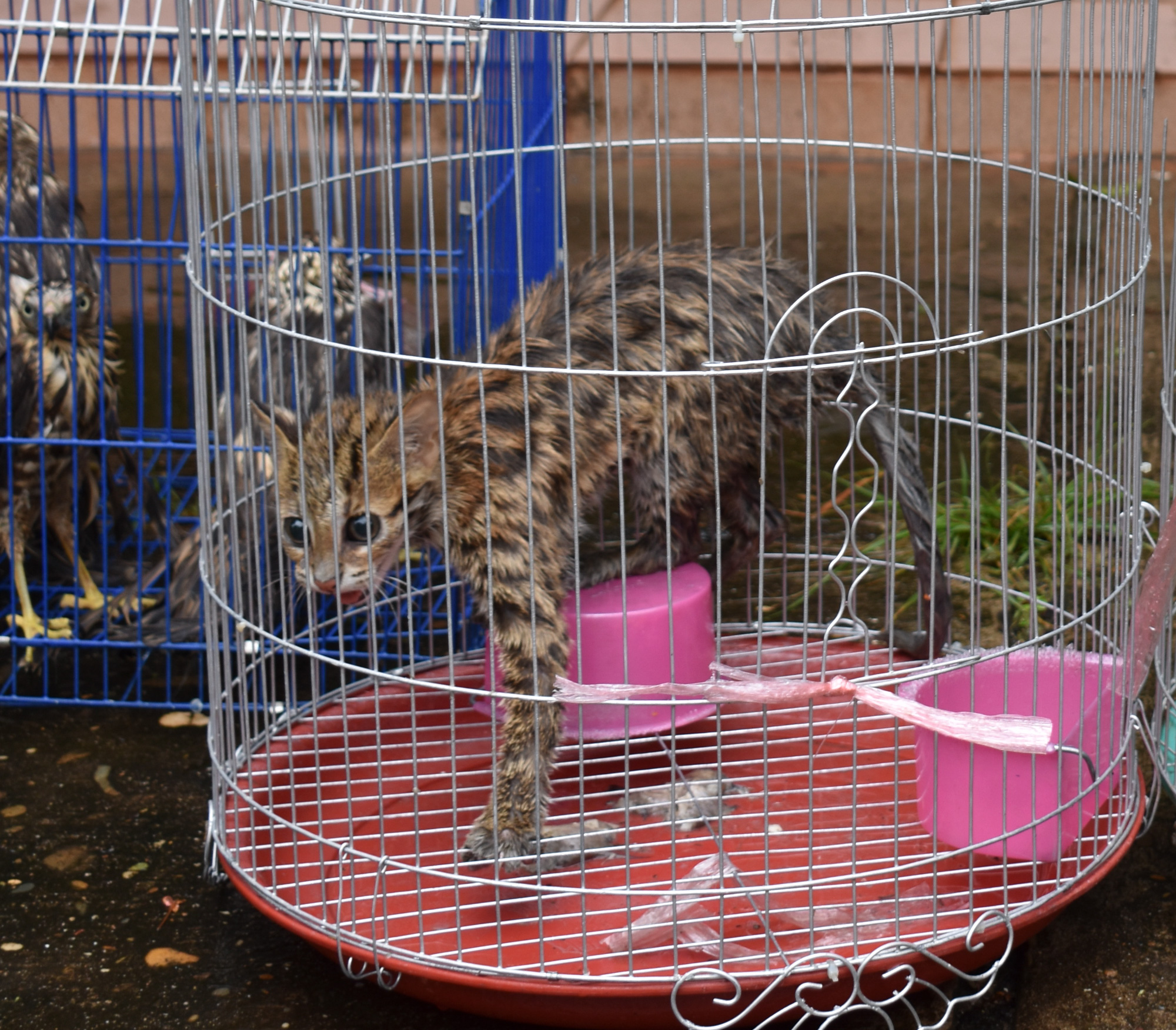 Leopard cat rescued from an illegal wildlife market