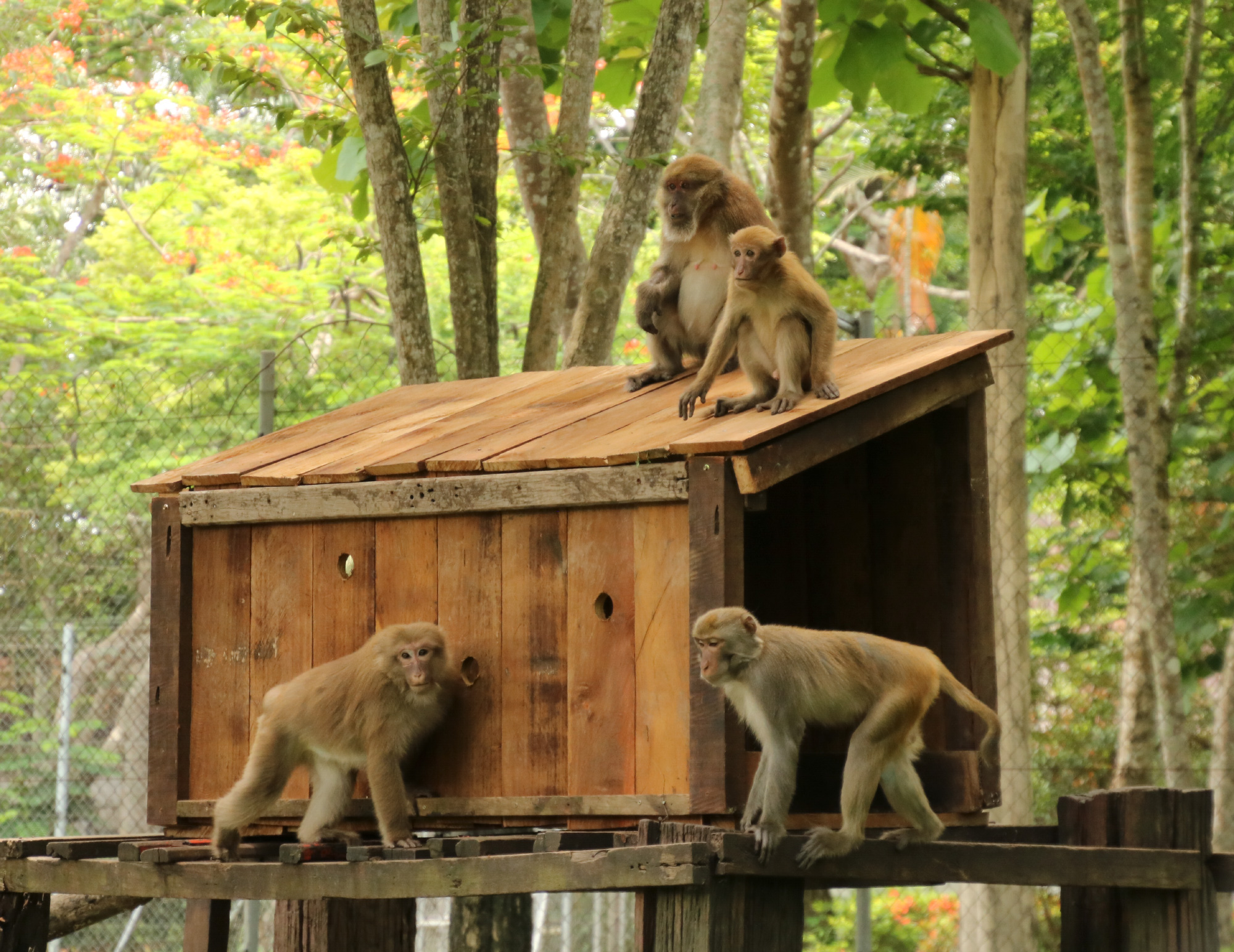 Macaques explore their new wooden house